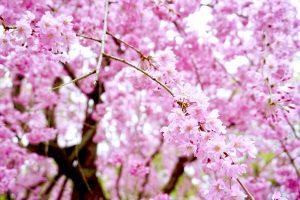 桜の季節となりました♡