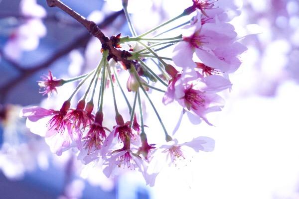 朝活♡桜の癒し効果♡